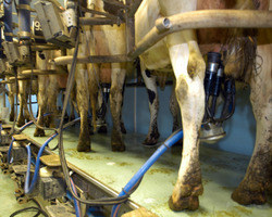 Fromagerie Villiers - Illois - La traite des vaches